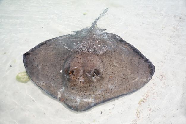Stingray in acque poco profonde