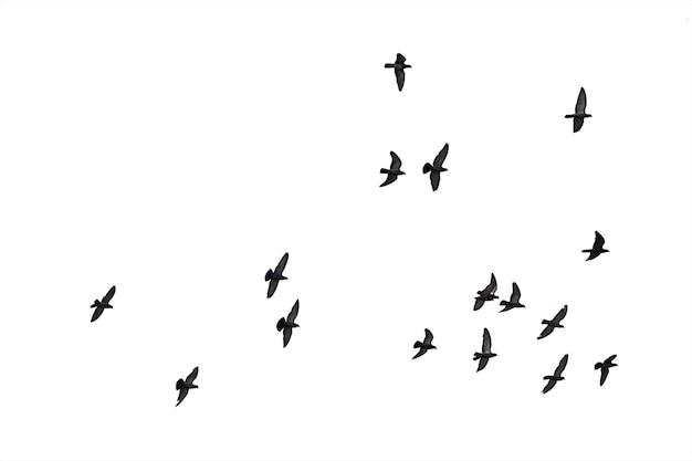 Stormi di piccioni volanti isolati su fondo bianco.