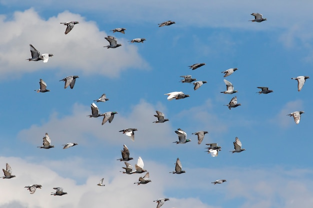 Stormo di piccioni da corsa brid flying