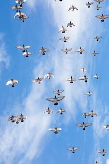 Stormo di piccioni da corsa velocità battenti contro il bel cielo blu chiaro