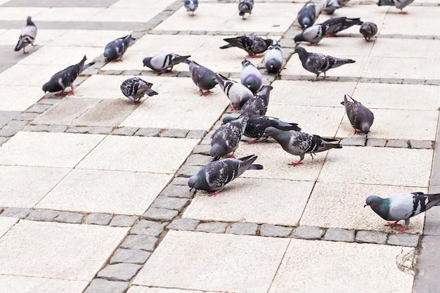 Stormo di piccioni