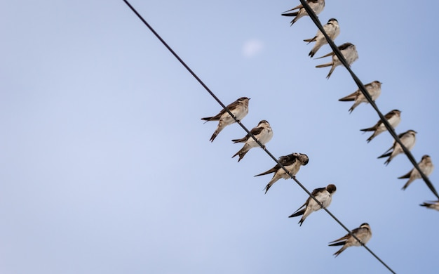 Stormo di rondini su linee elettriche con un cielo blu