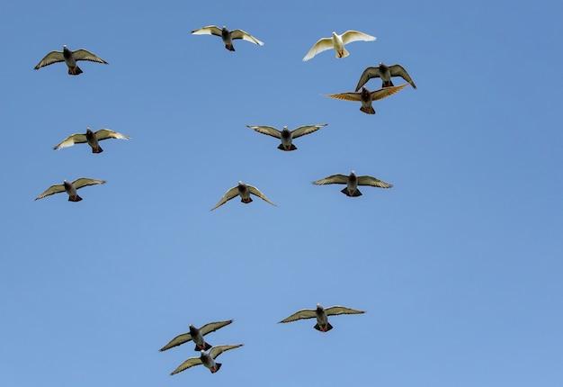 Stormo di uccelli da corsa piccione velocità battenti contro il cielo blu chiaro