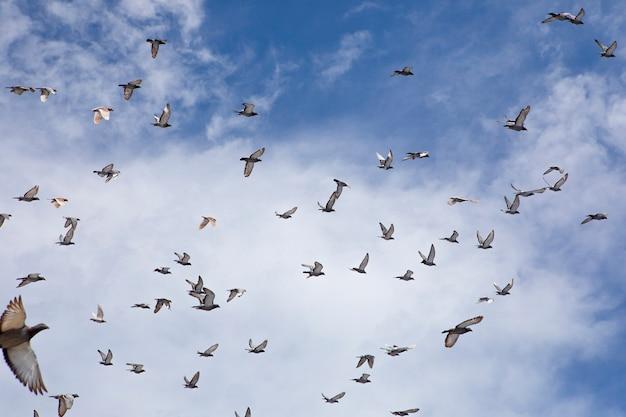 Stormo di volo di piccione da corsa contro il cielo blu