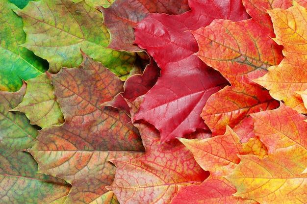 Strato di foglie autunnali luminose di acero