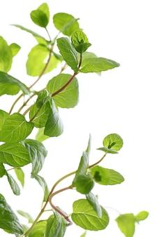Stretta di foglie di menta