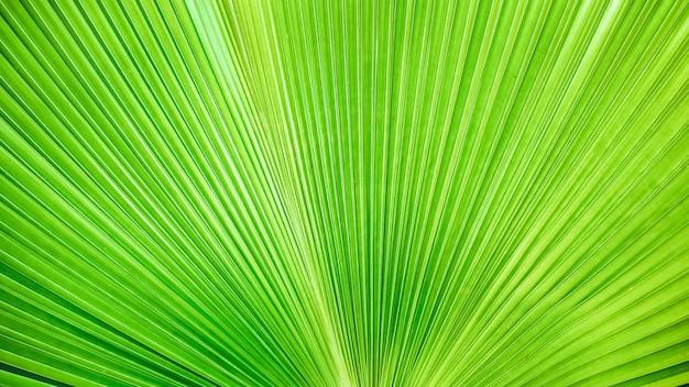 Strisce verde chiaro dalla natura, fondo di struttura di foglia di palma tropicale.