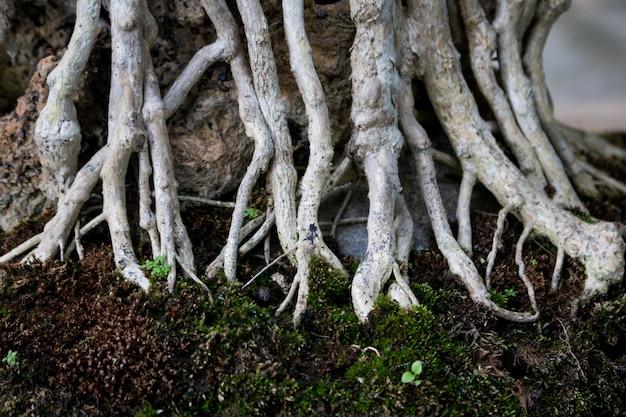 Struttura della diffusione di legno della radice del bonsai del primo piano. sfondo astratto