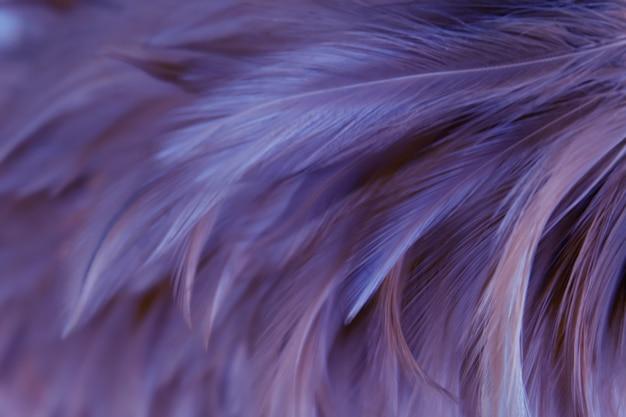 Struttura della piuma dei polli dell'uccello della sfuocatura per fondo