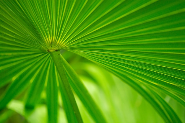 Struttura della priorità bassa di foglia di palma bagnata.