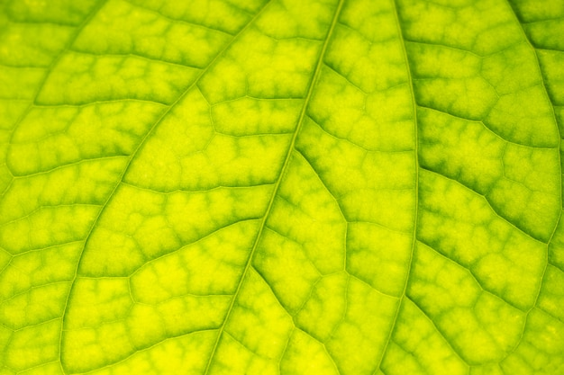 Struttura della struttura della foglia verde di leafbush del betel selvaggio.