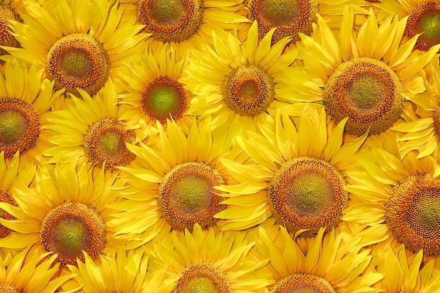 Struttura gialla della fioritura del girasole