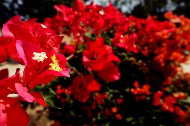 Struttura rossa della priorità bassa del fiore, sfondo naturale