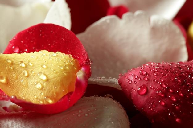 Struttura variopinta della carta da parati del petalo di rosa