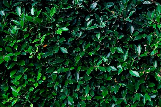 Struttura verde della foglia, albero di banyan coreano.