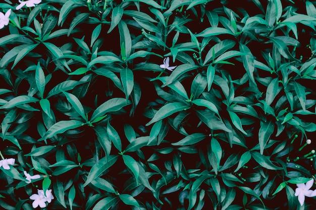 Struttura verde della foglia, foglia verde scuro nella natura tropicale della giungla.