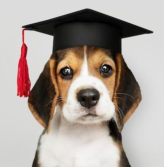 Studioso di cuccioli di beagle