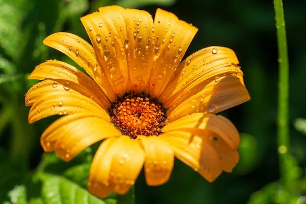Su uno sfondo verde c'è il fiore giallo soleggiato doronikum con gocce d'acqua.