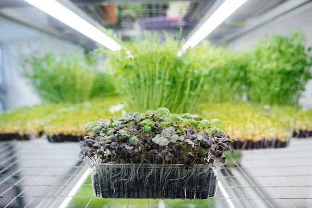 Succosi e giovani germogli di micro verdure in serra.