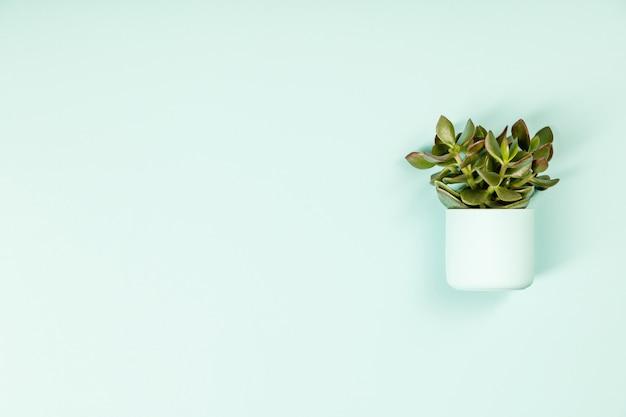 Succulenta su sfondo verde. disteso, copia spazio
