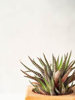 Succulenta verde chiaro su una priorità bassa bianca.