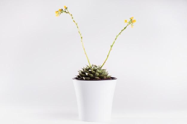 Succulente di echeveria in un vaso bianco su un bianco isolato