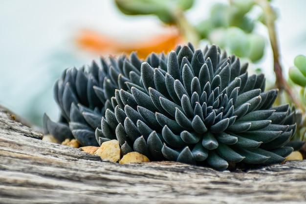 Succulente nero che cresce su un albero
