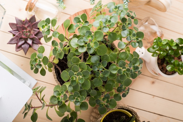 Succulente, piante da appartamento in vaso