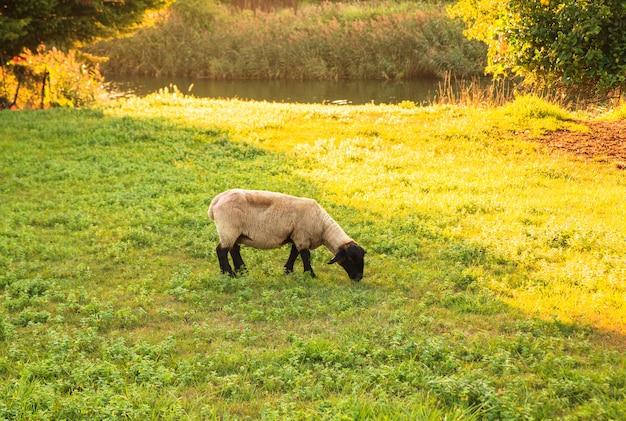 Suffolk pecore al pascolo