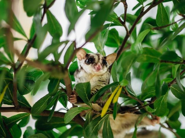 Sugar glider sveglio che gioca sul ramo di un albero.