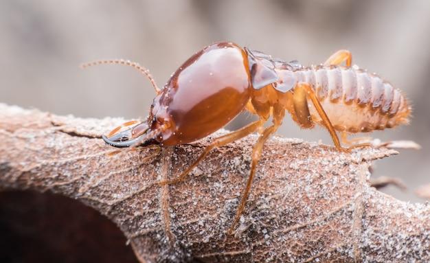 Super macro termite camminando su foglia secca