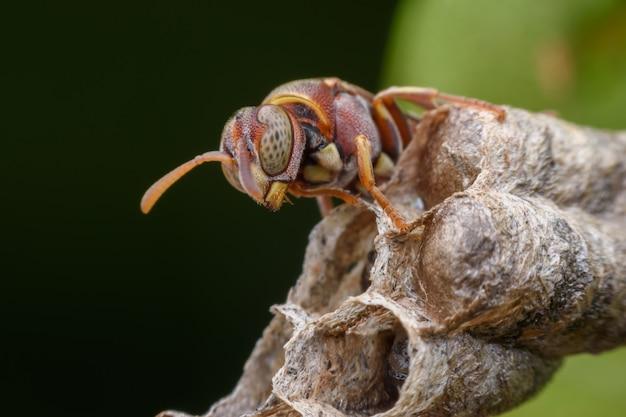 Super macro vespa e larve nel nido di vespe