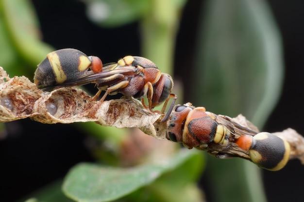 Super macro vespe che costruiscono un nido di carta