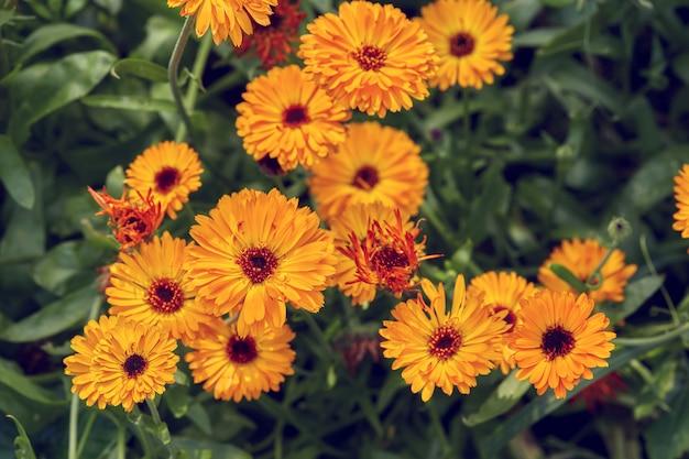 Superficie estiva con fiori di calendula in crescita