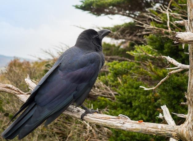 Supporto nero dell'uccello del corvo sul ramo di albero