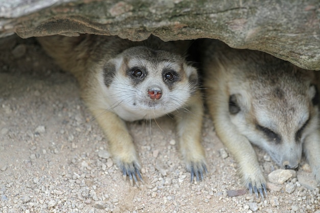Suricata suricatta o meerkat dormono nella grotta