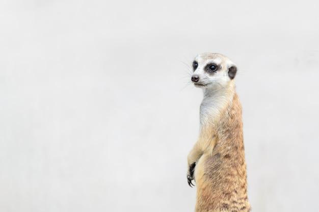 Suricatta di suricata di meerkat, animale nativo africano,