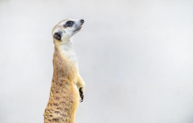 Suricatta di suricata di meerkat