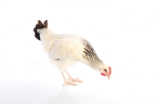 Sussex gallina originale dall'inghilterra