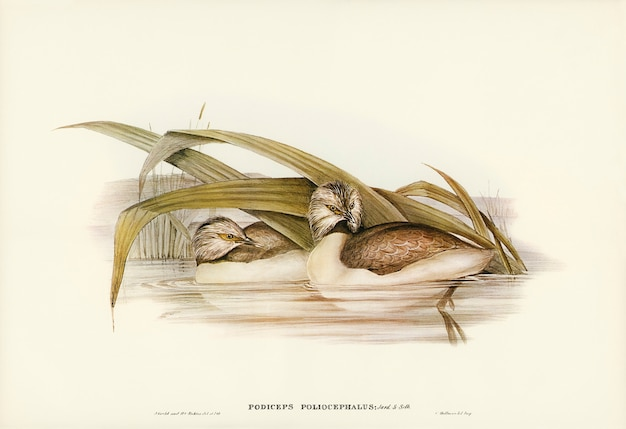 Svasso dalla testa canuta (podiceps poliocephalus) illustrato da elizabeth gould