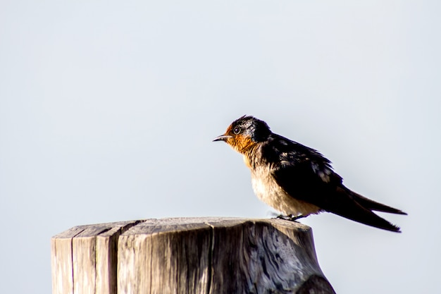 Swallow pacifico dell'uccello (hirundo tahitica) isolato nel blu del mare in asia meridionale tropicale