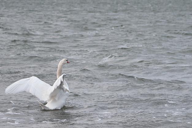 Swan su una superficie ondeggiante di acqua di mare in tempesta