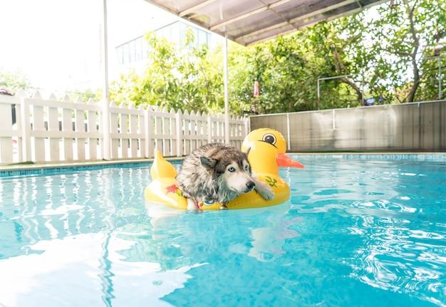 Syberien husky nuotare in piscina con anello di nuotata