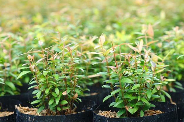 Syzygium gratum (wight) sn mitra var. albero gratificato. è erba e cibo, aspetto fresco e caldo.
