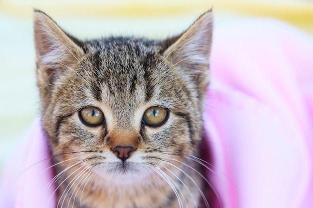 Tabby kitten con coperta rosa