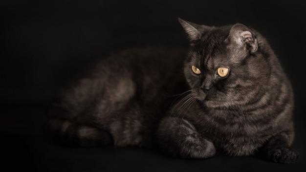 Tabby nero scozzese gatto dritto con gli occhi gialli