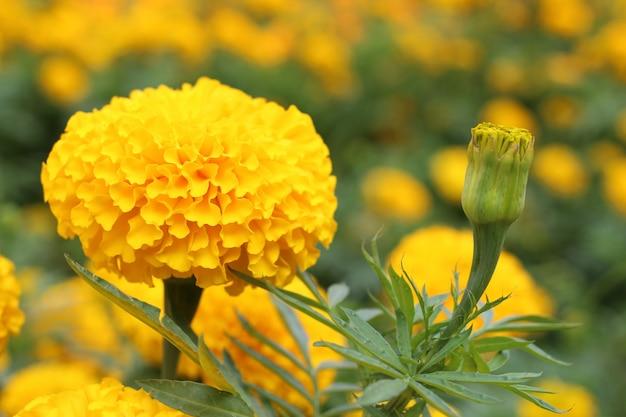 Tagete, bello fiore giallo, fiore dell'oro giallo del tagete in giardino