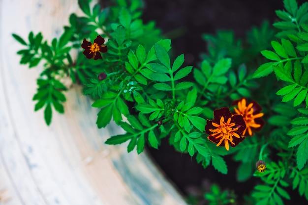 Tagetes arancio rosso stupefacente in primo piano del letto di fiore bianco.