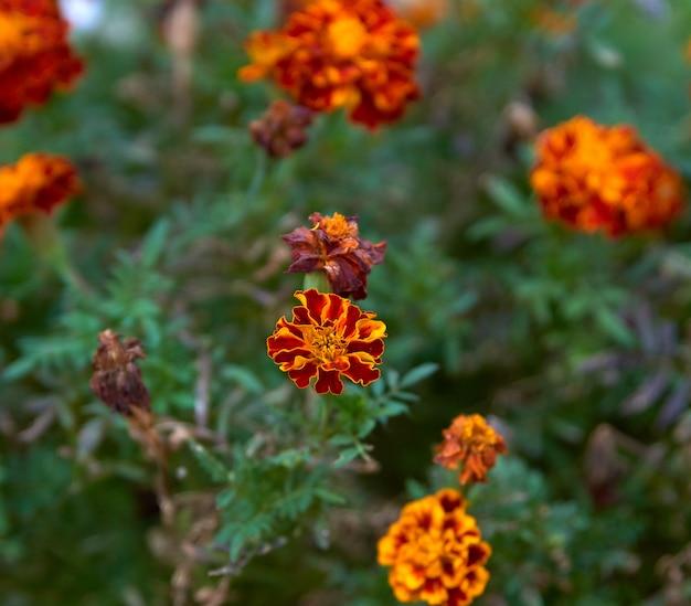 Tageti di fioritura nel giardino, vista dall'alto