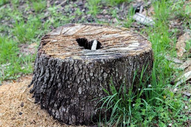Tagliare l'albero nella foresta, fotografato con profondità molto bassa di
